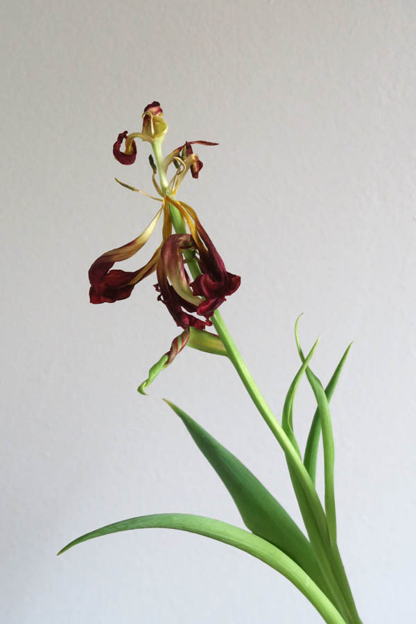 Luis Pita | El ocaso de un Tulipán Abba